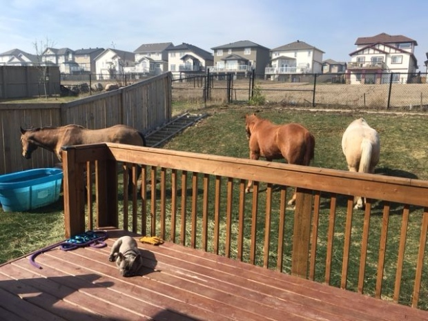 This photo, supplied by Stacy Clough to the CBC, shows three horses she brought to her backyard to keep safe from the wildfires.